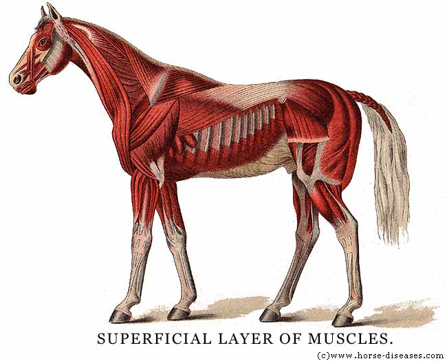 List of Synonyms and Antonyms of the Word: horse muscles and bones